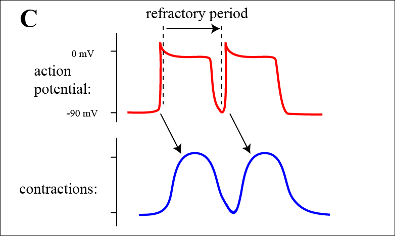 A47 cardiac muscle now the second action potential is initiated immediately after the refractory period of the first action potential but in contrast to the skeletal muscle ccuart Choice Image