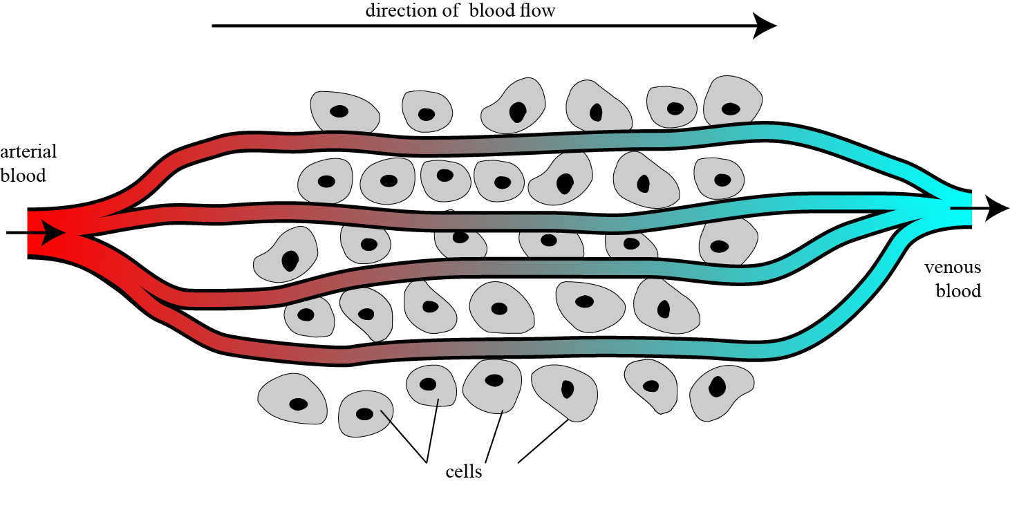 how venous blood returns to heart